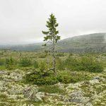 Швеция: Самому старому дереву напланете 9,5 тыс. лет